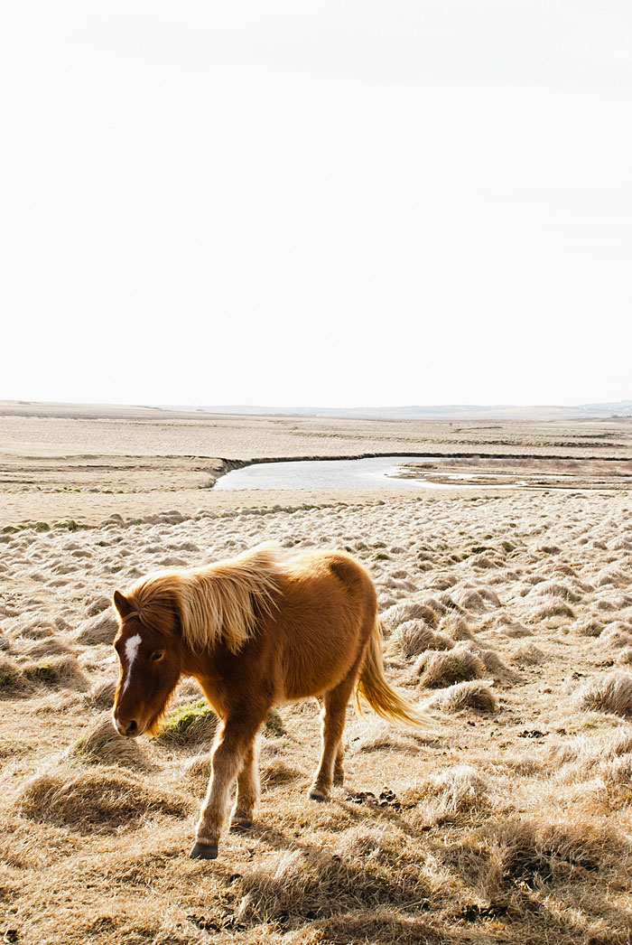 Icelandic pony just chilllin